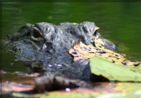 alligator-slider7
