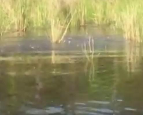 outer banks kayak tour - carp spawning